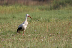 Stork on a field. Stork, field, Flowers Royalty Free Stock Photo