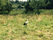 Stork in a Field Stock Photography