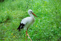 Stork in a field. Adult stork in its natural habitat stock images