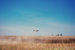 Stork on a field of golden wheat blue sky Royalty Free Stock Photos