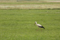 Stork in a field Stock Photo