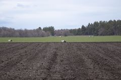 Stork on the field looking for food. Storks walk through a plowed field stock photography