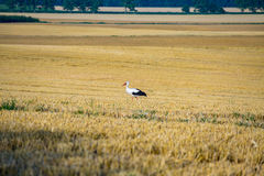 Stork on the field Stock Images