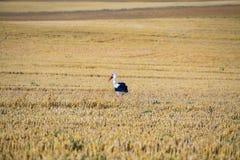 Stork on the field Stock Photos