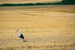 Stork on the field Royalty Free Stock Image