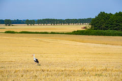 Stork on the field Royalty Free Stock Photos