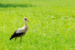Stork in field. Stork walking in high grass looking for something to eat Stock Image