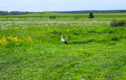 Stork in a field Stock Photos