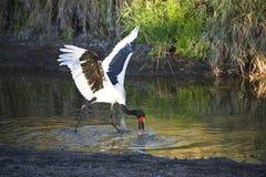 Stork Fishing Stock Image