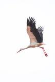Stork flies Royalty Free Stock Image