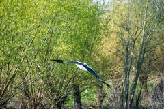 The stork flies away. Back view. Twigs and green leaves in the background royalty free stock photography