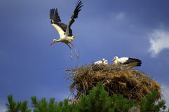 Stork flies nest Royalty Free Stock Image