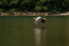 Stork flies over the water stock photo