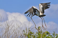 Stork in Flight Stock Image