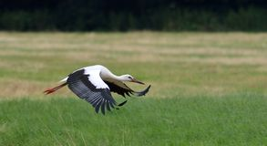 Stork in flight Stock Photos