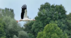 Stork in flight Stock Photography