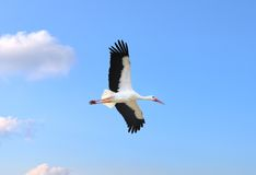 Stork in flight Royalty Free Stock Photos