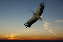 Stork. In flight and background evening sky stock photos
