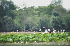 Stork in flight. Royalty Free Stock Image