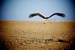 Stork in flight over the field Stock Photos