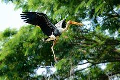 Stork in Flight Royalty Free Stock Photo