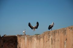 Stork in flight and storks on wall stock photography