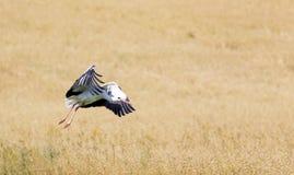 A Stork in flight in Suwalki Landscape Park, Poland. Royalty Free Stock Image