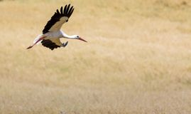 A Stork in flight in Suwalki Landscape Park, Poland. Royalty Free Stock Images