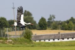 A Stork in flight in Suwalki Landscape Park, Poland. Stock Photo