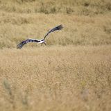 A Stork in flight in Suwalki Landscape Park, Poland. Royalty Free Stock Photo