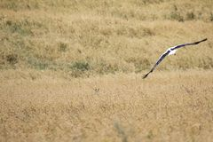 A Stork in flight in Suwalki Landscape Park, Poland. Royalty Free Stock Photos
