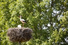 A Stork in flight in Suwalki Landscape Park, Poland. Royalty Free Stock Photography