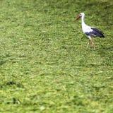 A Stork in flight in Suwalki Landscape Park, Poland. Royalty Free Stock Photography