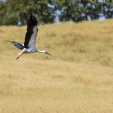 A Stork in flight in Suwalki Landscape Park, Poland. Stock Photos