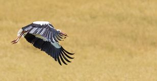 A Stork in flight in Suwalki Landscape Park, Poland. Stock Photos