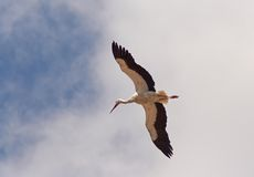 Stork fly. And sky royalty free stock image