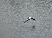 Stork fly Stock Image
