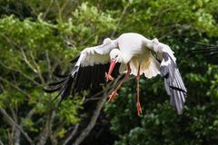 Stork, Fly, Eat, Bird, Green Stock Image