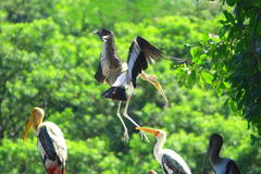 Stork Flying Royalty Free Stock Images