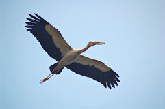Stork flying Stock Photography