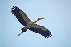 Stork flying. Flying openbill stork Stock Photography