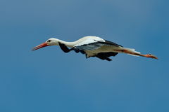 Stork flying against the sky Royalty Free Stock Image