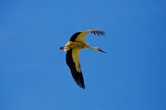 Stork Flying in the Air Stock Photo