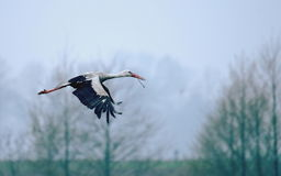 Stork - builder. Stork flying with the branch to build a nest Stock Photography