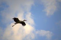 Stork flying Royalty Free Stock Photo