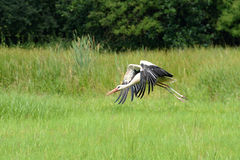 Stork. This is stork flying from meadow Royalty Free Stock Photography