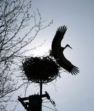 Stork flying from a nest. Silhouette and bright sunny sky Royalty Free Stock Photo