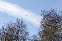 Stork flying over trees. Stork flying over the tops of some dry trees in spring Stock Image