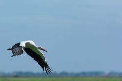Stork flying Stock Photos