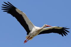 Stork Flying in the Sky with Wings Spread Stock Photos